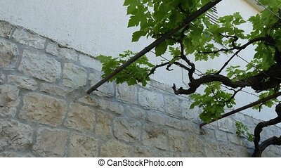Grape vine near the house in Montenegro, the Balkans. Adriatic S