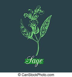 Vector sage illustration in engraving style. Hand drawn botanical sketch of culinary herb. Spice plant salvia isolated.