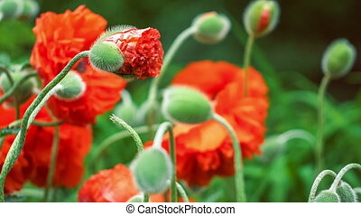 Focus on bud of decorative red poppy flower in spring day, close up