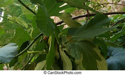 Ripe figs on the tree. Montenegrin fig trees. Wild figs.