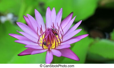 Closeup of bee in colorful beautiful lotus and group working...
