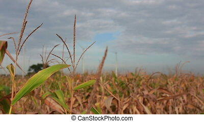 closeup corn at field with clean and renewable energy background in the morning