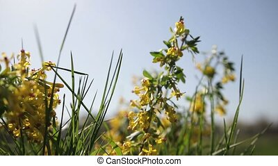 Golden currant blooming bright yellow flowers - Closeup of...