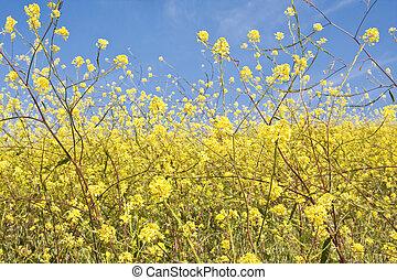 mostaza, flor, Extracto