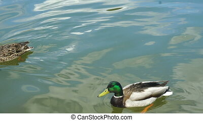 ducks swim in the Lake at daytime
