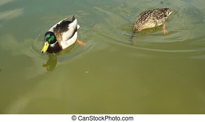 two ducks float in the Lake close up