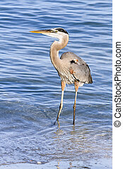 Blue Heron Wades in the Gulf of Mexico - A great blue heron,...
