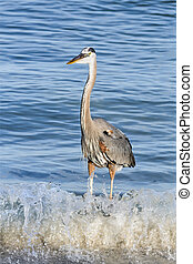 Blue Heron Breaker - A great blue heron stands in the...
