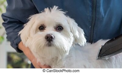 Adorably winking cute white dog - Groomed white dog adorably...