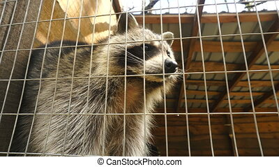 Raccoon in a cage at the Zoo at daytime