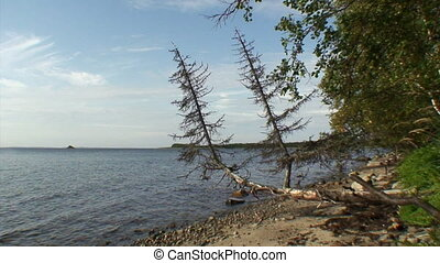 Tree on the shore and calm water of White Sea.
