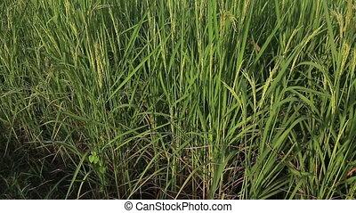 Jasmine rice farm in countryside Thailand