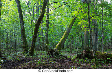 Old oak and hornbeam in natural late summer forest against...