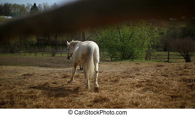 White Horse in the pen