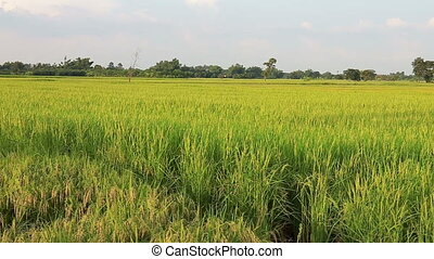 Jasmine rice farm in countryside Thailand