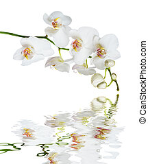 White orchid flower reflected in a water - White orchid...