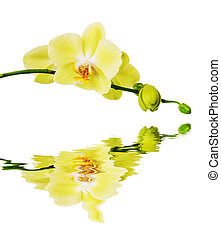 Yellow Blossoming Orchid reflected in a water surface -...