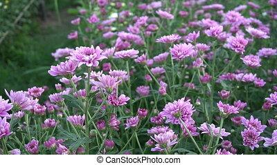 Field of pink flowers in garden.