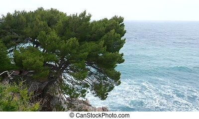 Branches of pine trees in Montenegro near the sea.