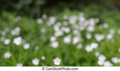 Flowering. Chamomile. Blooming chamomile field