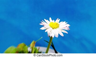 Timelapse common daisy closing and opening again - Timelapse...
