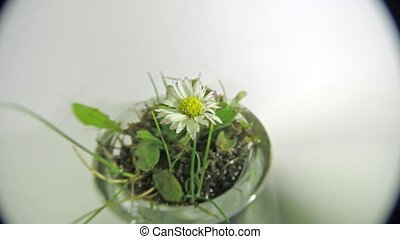 Timelapse of common daisy drying out - Timelapse of common...