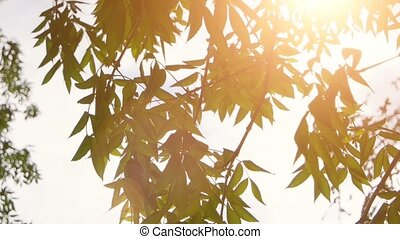 Nature with fresh tree leaves and shining sun vintage color grading. Green leaves and sun in spring