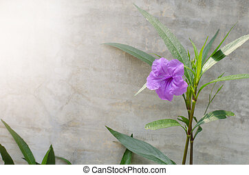 Popping pod flower on cement wall background. Scientific...