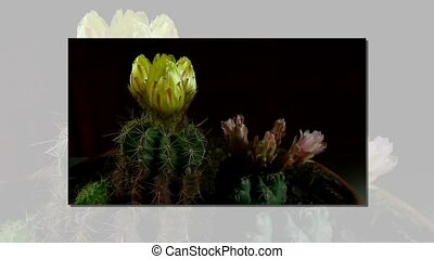 Time lapse of opening and closing cactus flowers. Yellow and...
