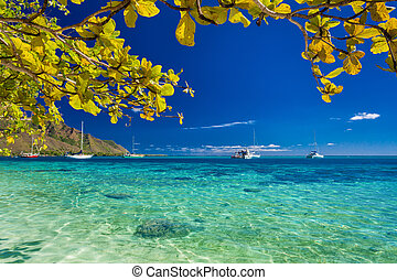 Tree with yellow leaves over the beach at Moorea, Tahiti