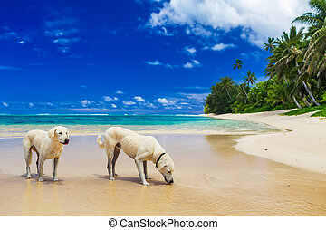 Two white dogs drinking water on the tropical beach