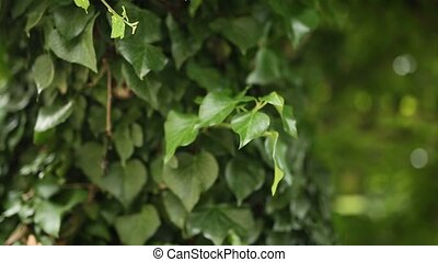 Trees overgrown with ivy. Texture of wild plants in forest....