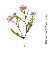 Pressed and dried flower Symphyotrichum novi-belgii....