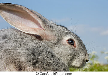 CÙte, kaninchen
