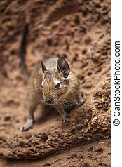degu walk with his fellow - rodent degu walk with his fellow