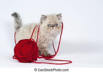 Persian kitten. - Cute little persian kitten with red wool...