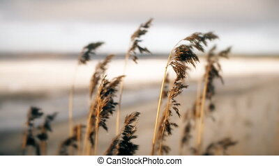 Dry bulrush near the frozen sea in early spring.
