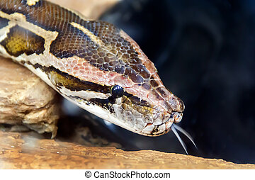 Snake head with put out tongue - Photo of python head with...