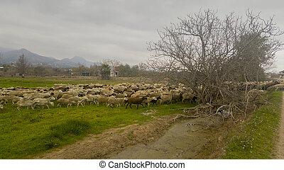 A flock of sheep through the field