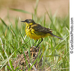 Yellow wagtail after bath - Yellow western wagtail...