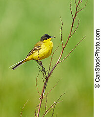 Black headed western yellow wagtail (Motacilla flava...