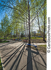 Silver birches with fresh foliage in a kontrovy sunlight...