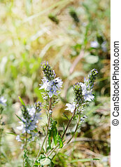 Light blue small flowers blooming in the meadow.