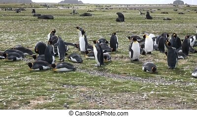 Imperial penguins on Falkland Islands in Antarctica....