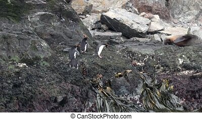 Imperial penguins jump on rocky ocean coast of Falkland...