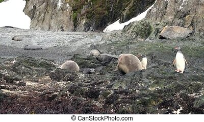 Imperial penguins elephant seals on rocky ocean coast of...