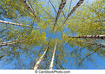 Thin trunks of silver birches with fresh green foliage...