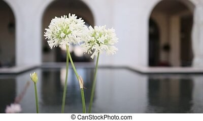 White flowering flowers Agapanthus near Regent Hotel in...