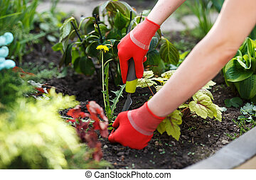 Photo of gloved woman hand holding weed and tool removing it...