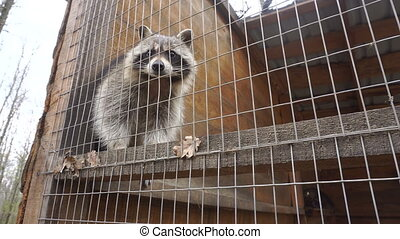 Raccoon in the Zoo close up